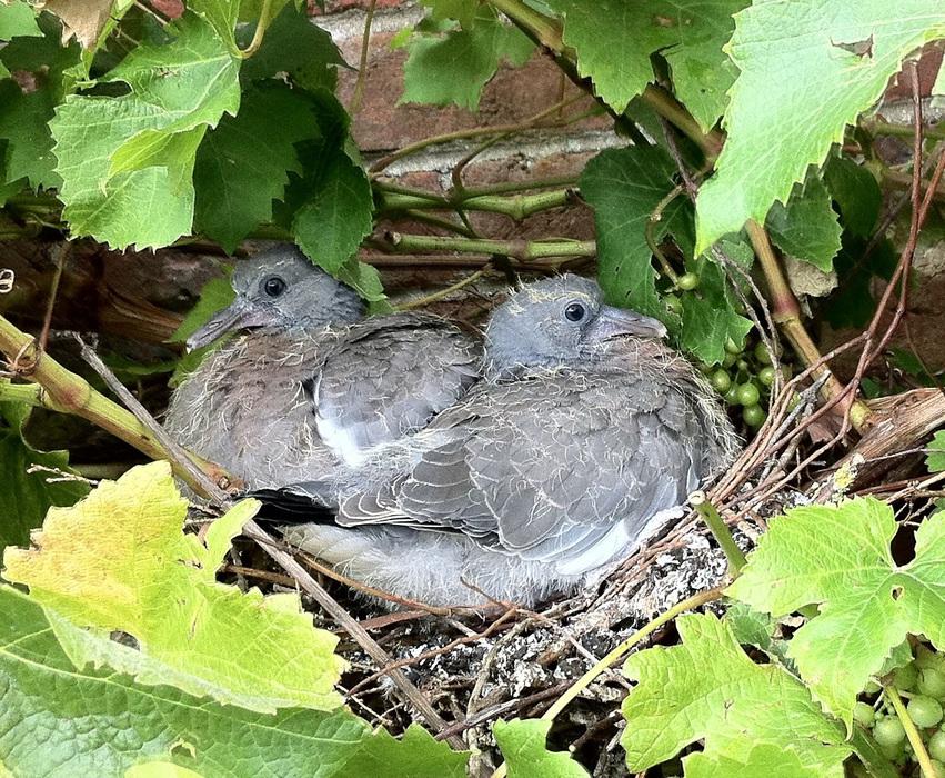 Baby Pigeon · Animals · swinny.net