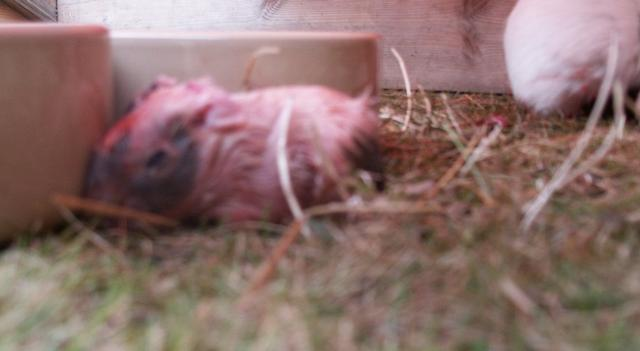 babies being born guinea pigs